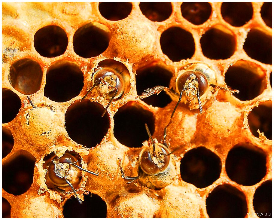 Пчелиный расплод: развитие пчел, болезни, лечение