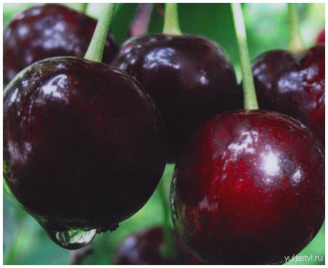 Cорт вишни Шоколадница: свойства, характеристика, достоинства и недостатки