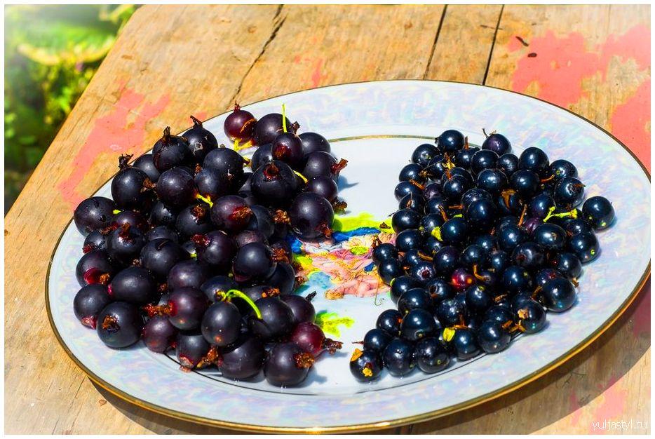 Ягода Йошта: свойства, урожай, размножение, посадка