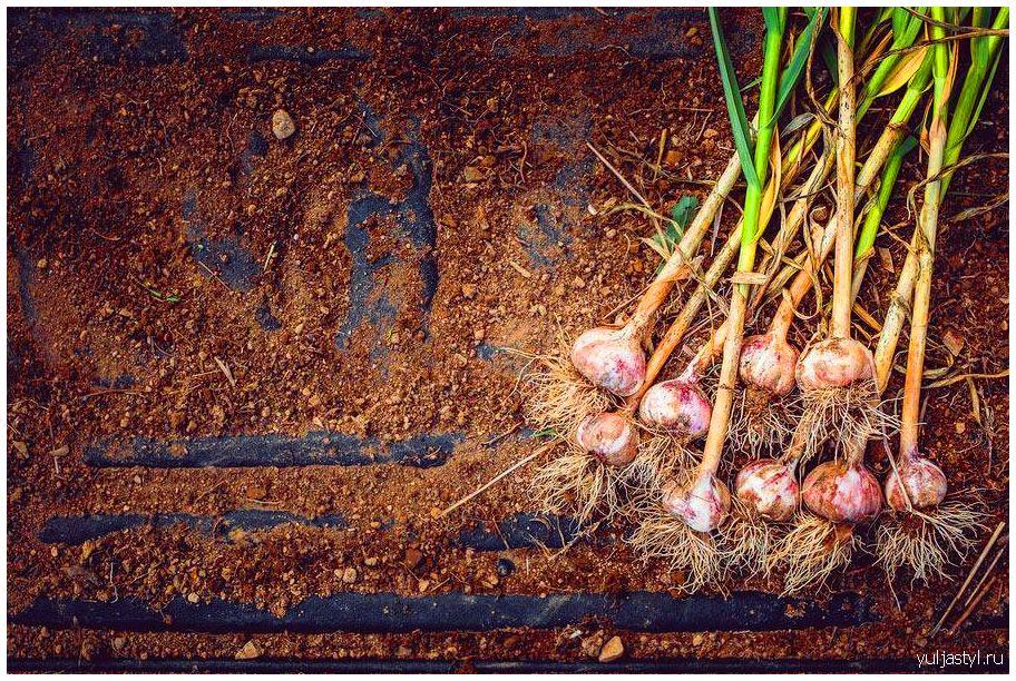 Чеснок: основы выращивания и ухода, сорта, подкормка, вредители