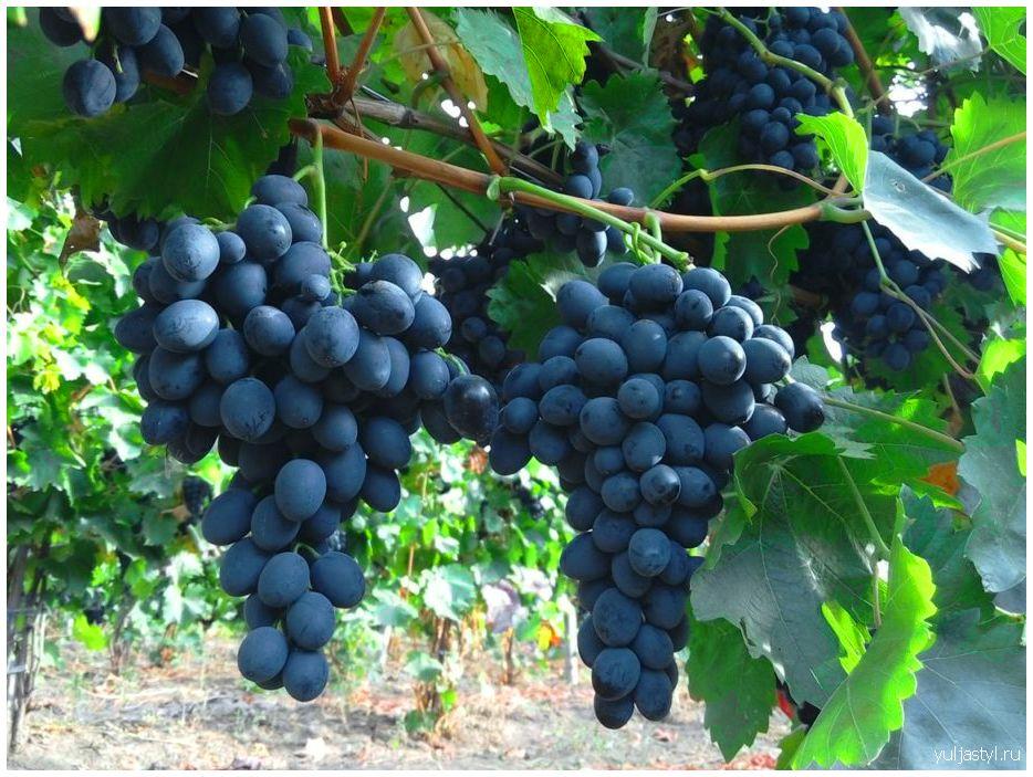 Виноград Молдова: урожай, посадка, уход, фото