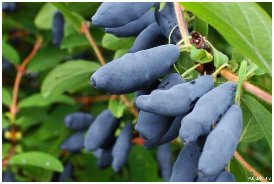 Жимолость Амфора: свойства сорта, урожай, уход, удобрения
