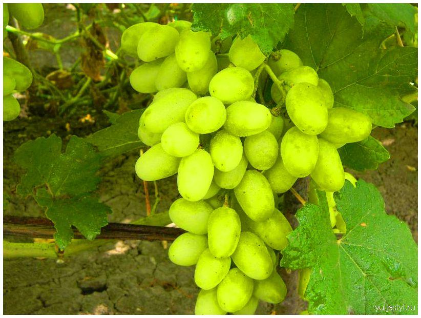 Сорт винограда Ландыш: урожай, фото, размножение, уход